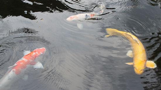 koi fish - blog-2