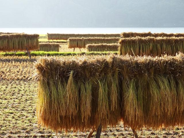 riceplant02
