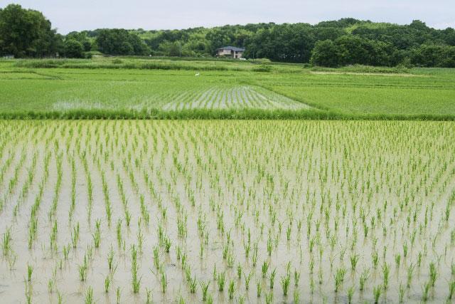 riceplant03