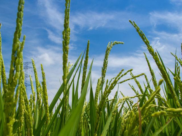 riceplant
